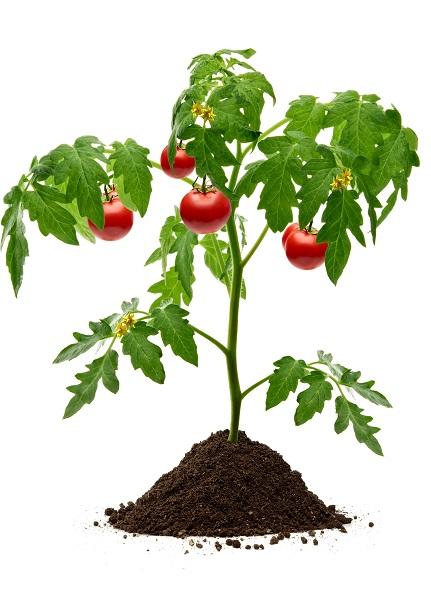Κηπευτικά Φυτά